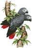 African Grey Parrots - Cross Stitch Chart