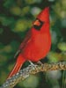 Cardinal Photo - Cross Stitch Chart