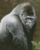Great Ape (Crop) - Cross Stitch Chart