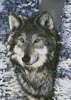 Grey Wolf - Cross Stitch Chart