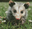 Opossum Joey (Crop) - Cross Stitch Chart