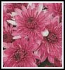 Pink Chrysanthemums - Cross Stitch Chart