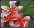 Pink Frangipanis - Cross Stitch Chart