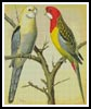 Rosella and Pale Headed Parakeet - Cross Stitch Chart