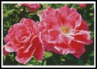 Rose Photo - Cross Stitch Chart