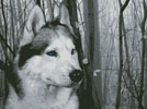 Siberian Husky in the Woods - Cross Stitch Chart